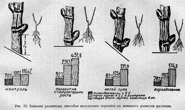 020-razmnojenie-vinograda-ris-32