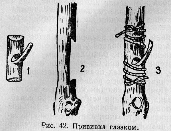 022-razmnojenie-vinograda-privivkoi-ris42