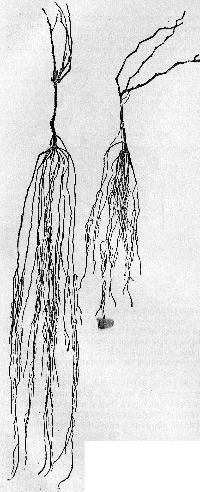 06-stroenie-kornevoi-sistemi1