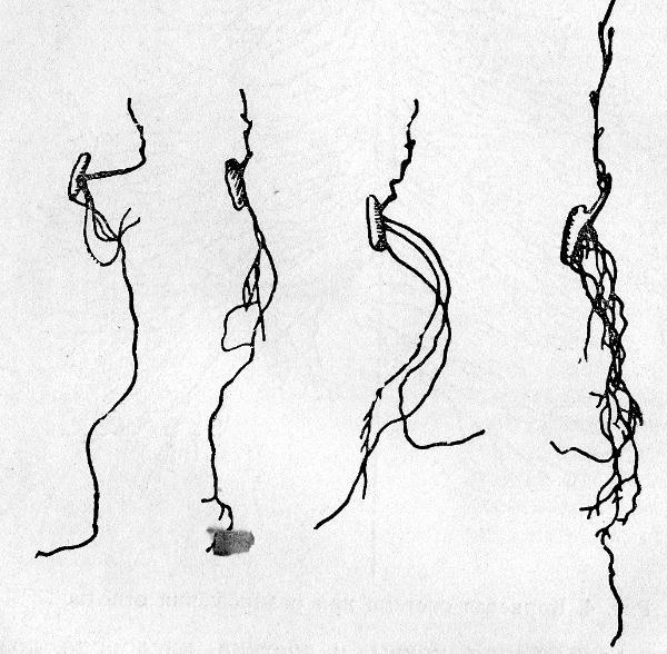 06-stroenie-kornevoi-sistemi3