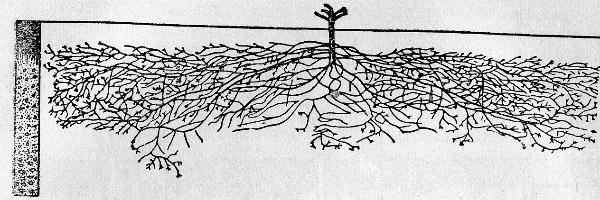 06-stroenie-kornevoi-sistemi6