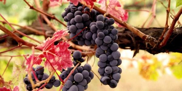 grapes36