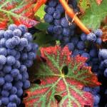 Значение культуры винограда