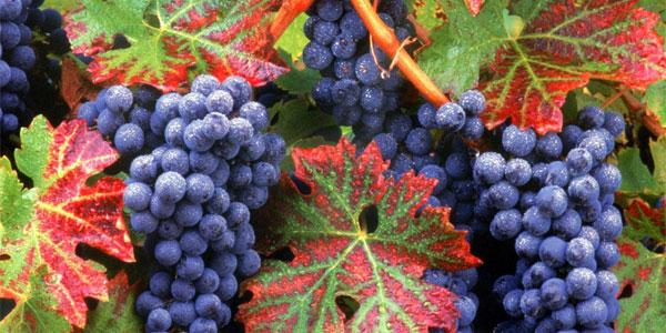 grozdi_vinograda_1024
