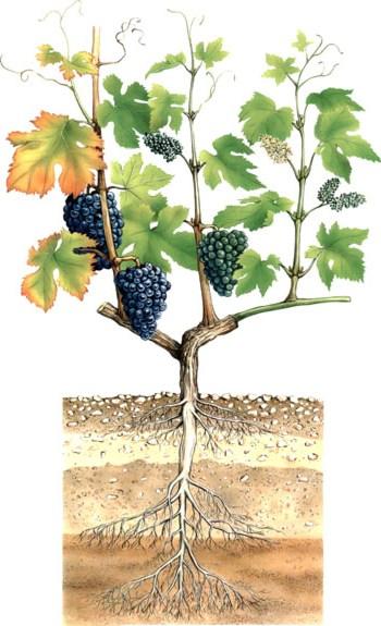 korni-vinograda