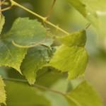 Строение виноградного куста и побегов