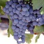 Инъекционно-капельное орошение виноградника