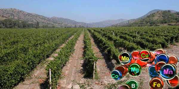 mikroelementi-vinograd2