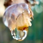 Пасока — жидкость из надрезанных частей куста винограда