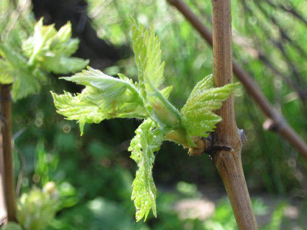 pochki-vinograda