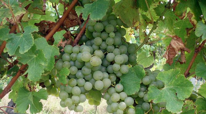 semillon_grape