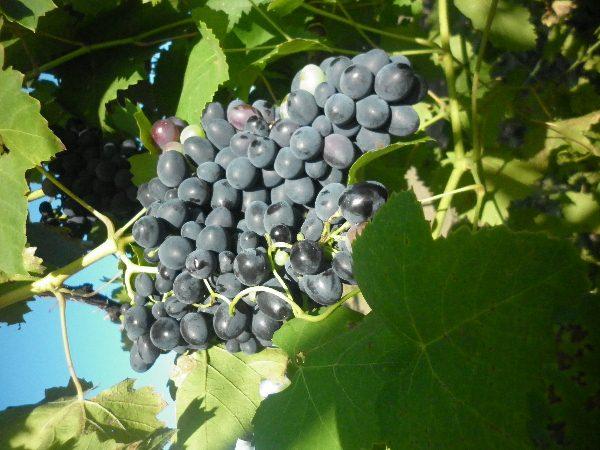 sozrevanie-vinograda