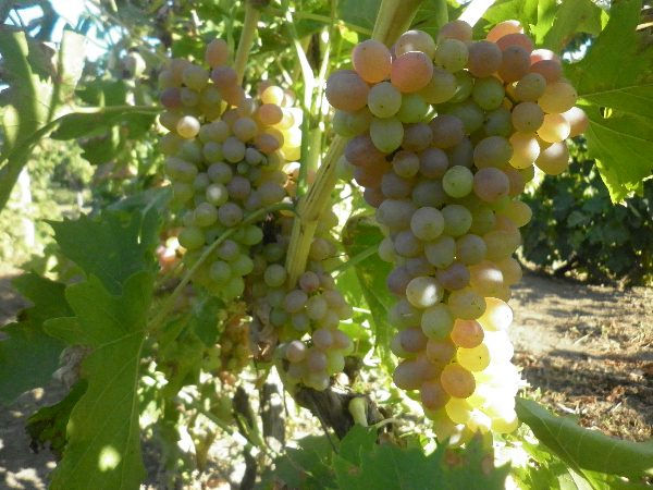 sozrevanie-vinograda1
