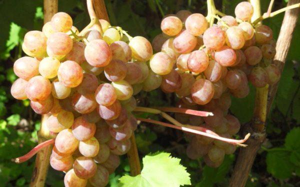 sozrevanie-vinograda2