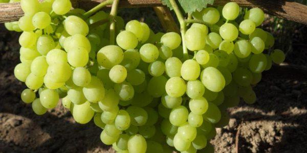 sozrevanie-vinograda3