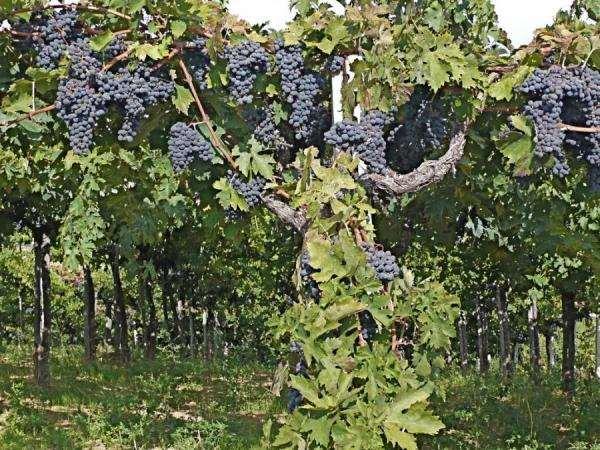 Период относительного покоя     Период вегетации  Виноград относится к растениям, которые быстро вступают в плодоношение и дают ежегодный урожай