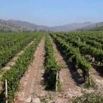 Фазы вегетации винограда