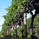 Опора для виноградных кустов. Натягивание проволоки