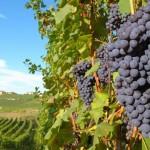 Особенности строения виноградного растения