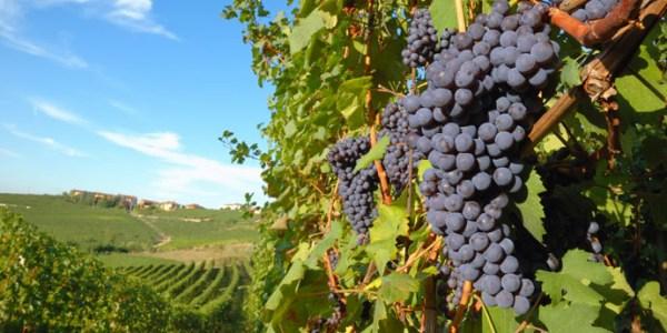 vineyard-italy