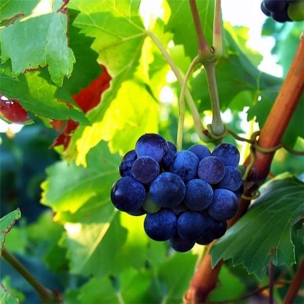vinograd-45