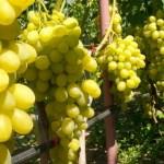 Размножение винограда семенами