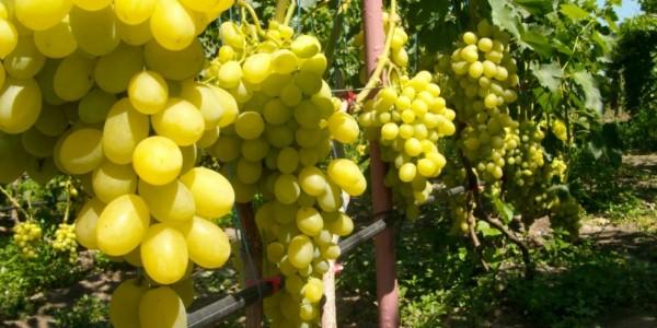 vinograd-47