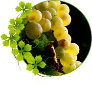 vinograd-aligote