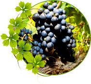 vinograd-kaberne-sovinon