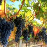 В Крыму известно порядка 110 уникальных аборигенных сортов винограда