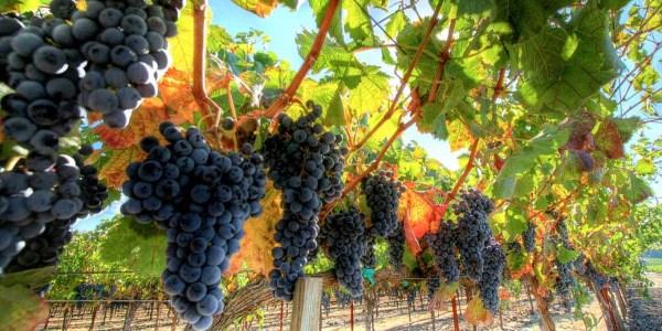 vinograd-kerch