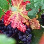Фаза полного созревания ягод