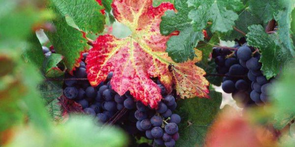 vinograd-osen