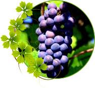 vinograd-pino-black
