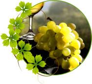 vinograd-risling