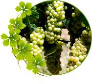 vinograd-shardone