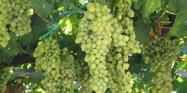 vinograd-step