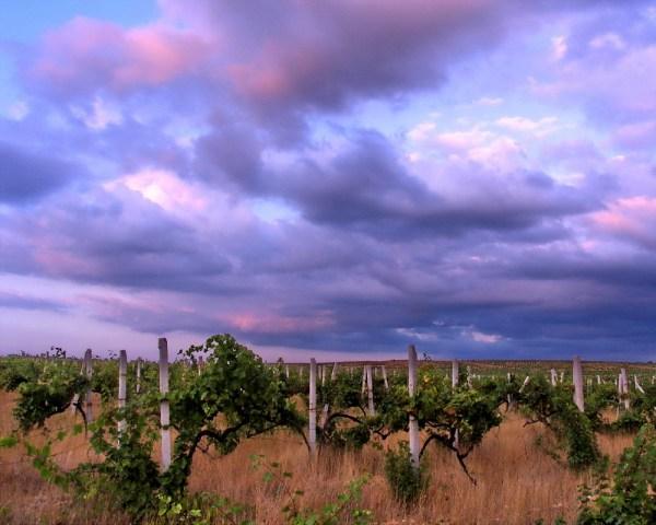 vinograd-step1