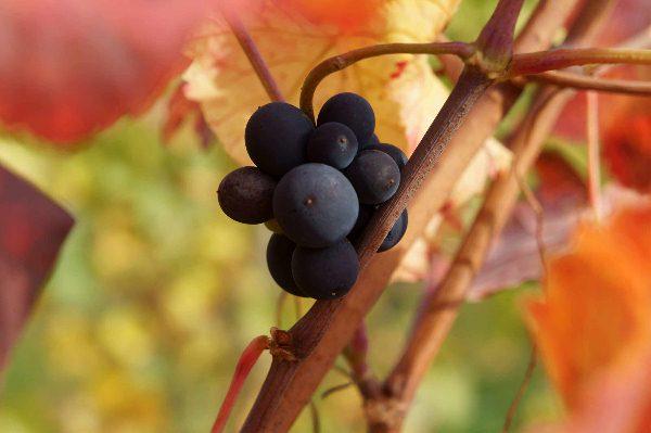 vinograd-v-krimy