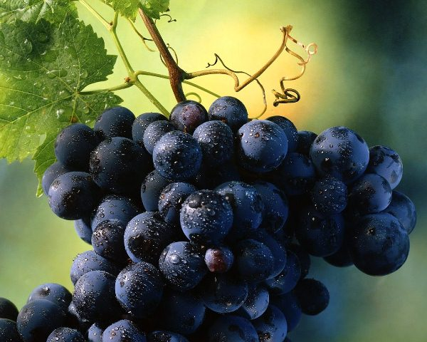 vinograd42