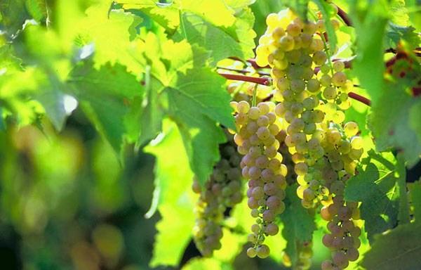 vinograd_34