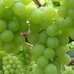 Строение гроздей, ягод, семян