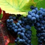 Жизнь виноградного растения