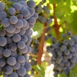 Рост виноградного растения