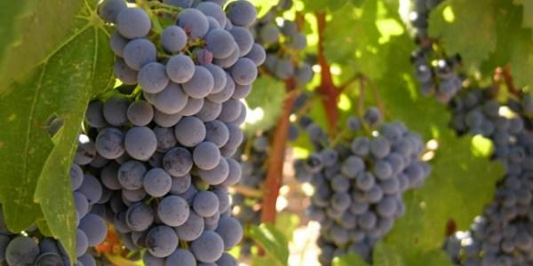 vinograd_37