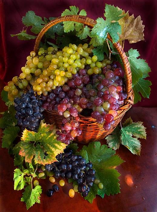 vinograd_38