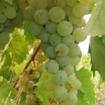 Период вегетации  винограда можно разделить на 6 фаз