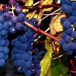 Влияние условий среды на рост, развитие, количество и качество винограда