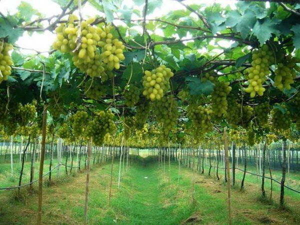 vinogradnik1