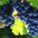 Природа Крыма благоприятна для выращивания высококачественных сортов винограда